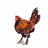 Pavlovian breed Rooster on white