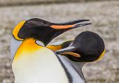 Courting King Penguins