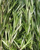 stock photo of camphor  - Rosemary  - JPG