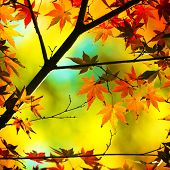 Autumn maple leaves in warm pastel colors.