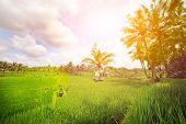 Lush green paddy fields of Bali early in the morning