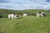 stock photo of cattle breeding  - Holstein cattle in a pasture on a beautiful summer afternoon - JPG