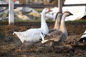 Geese ducks in poultry farm rural scene