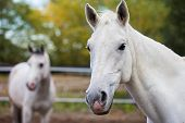 foto of horse-breeding  - Portrait of purebred white horse on background of blurred second horse - JPG