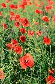 Poppy flowers outdoors