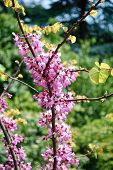 stock photo of judas tree  - Cercis siliquastrum flowers on a mature branch - JPG