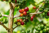 Coffee tree with ripe berries on farm