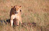 pic of buck teeth  - Single female lioness  - JPG