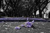 image of tree lined street  - Suburban road with line of jacaranda trees and small branch with flowers on - JPG