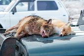 image of hunt-shotgun  - Dead foxes after the hunt in the woods on a car hood - JPG