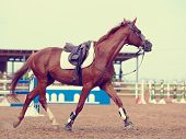 image of horse-breeding  - The sports horse trots in the field for competitions - JPG