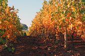 Vineyard Row in Autumn