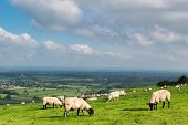image of sheep  - A flock of sheep grazing on the north face of the South Downs close to the villages of Pyecombe and Ditchling - JPG