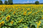 pic of heliotrope  - Field of sunflowers on a sunny day in France - JPG