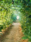 picture of pergola  - Green tunnel pergola with climbing plant fruits - JPG