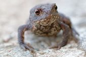 Постер, плакат: Baby Toad With Big Eyes Stairing