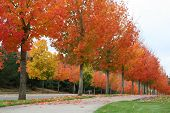 pic of fall trees  - roll of fall trees orenge and yellow - JPG