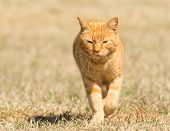 Ginger tabby cat walking in grass towards viewer poster