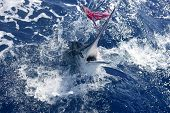 Atlantic white marlin big game sport fishing over blue ocean saltwater