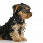 foto of yorkshire terrier  - puppy Yorkshire Terrier in front of a white background - JPG