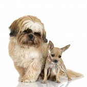 stock photo of dog breed shih-tzu  - chihuahua and Shih Tzuin front of white background - JPG