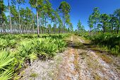 foto of saw-palmetto  - Forest Road runs through the pine flatwoods of central Florida on a sunny day - JPG