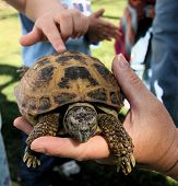 picture of carapace  - young child reaching out to touch a carapace at a box turtle demonstration - JPG