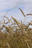 Wheat Against The Sky