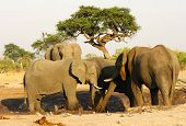 Group of African Elephants
