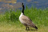 Canada Goose Giving Me The Look