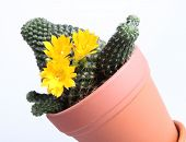 Blooming cactus plant