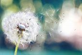 Dandelion. Close Up Of Dandelion Spores Blowing Away,dandelion Seeds In The Sunlight Blowing Away Ac poster