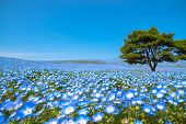 Mountain, Tree And Nemophila (baby Blue Eyes Flowers) Field, Blue Flower Carpet, Japanese Natural At poster