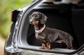 A Dachshund Standing On The Boot Or Trunk Of A Car Looking Into The Camera. A Sandy, Brown, Black An poster
