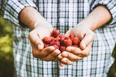Organic Fruit. Farmers Hands With Freshly Harvested Fruit. Organic Raspberries. Fresh Organic Berrie poster