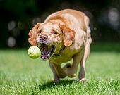 Labrador Retriever Running Towards Camera About To Catch A Ball. Sandy Or Golden Dog With Mouth Open poster