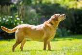Labrador Standing With Drool Or Saliva Coming From Its Mouth On A Sunny Day. Golden. Golden. A Sandy poster
