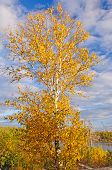 Birch Tree In Fall Colors Against A Blue Sky