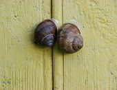 Pair Of Snails