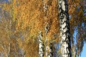 Autumn birch closeup with yellow leaves