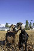 Two Nubian Goats.