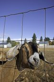 picture of nubian  - A humorous closeup of a nubian goat behind a fence - JPG