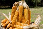 Corn close-up after harvest