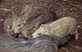 Wild Boars Sucking Their Mother