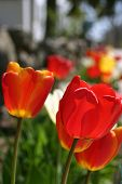 Tulips Vertical