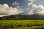 Hanalei Valley And Taro Fields