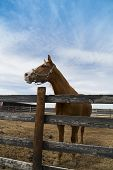 stock photo of headstrong  - young brown horse standing in a pen - JPG