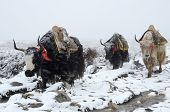 picture of yaks  - Yak caravan going from Everest Base Camp in snowstorm Nepal - JPG