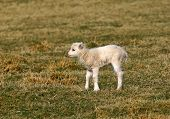 stock photo of the lost sheep  - new born lamb standing alone in a field in spring - JPG