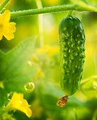Cucumber growing in the garden. Fresh Organic Cucumber Close up. Flowers and Leaves